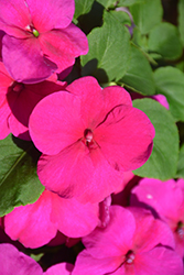Super Elfin® XP Rose Impatiens (Impatiens walleriana 'Super Elfin XP Rose') at Creekside Home & Garden