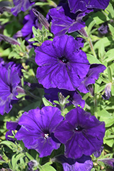 Perfectunia® Blue Petunia (Petunia 'Perfectunia Blue') at Creekside Home & Garden