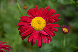 Robinson's Red Painted Daisy (Tanacetum coccineum 'Robinson's Red') at Creekside Home & Garden
