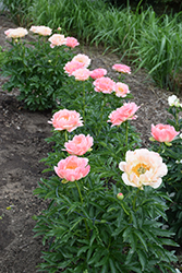 Coral Sunset Peony (Paeonia 'Coral Sunset') at Creekside Home & Garden