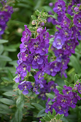 Angelface® Blue Angelonia (Angelonia angustifolia 'Angelface Blue') at Creekside Home & Garden