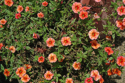 Callie® Orange Calibrachoa (Calibrachoa 'Callie Orange') at Creekside Home & Garden
