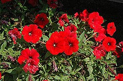 Surfinia® Deep Red Petunia (Petunia 'Surfinia Deep Red') at Creekside Home & Garden