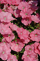 Supertunia® Bermuda Beach Petunia (Petunia 'Supertunia Bermuda Beach') at Creekside Home & Garden