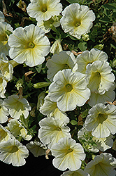 Sunshine Ray Petunia (Petunia 'Sunshine Ray') at Creekside Home & Garden