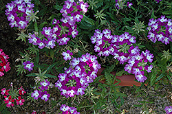 Lanai® Twister™ Purple Verbena (Verbena 'Lanai Twister Purple') at Creekside Home & Garden