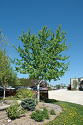 Silver Cloud Silver Maple (Acer saccharinum 'Silver Cloud') at Creekside Home & Garden