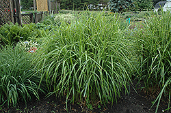 Porcupine Grass (Miscanthus sinensis 'Strictus') at Creekside Home & Garden