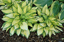 Orange Marmalade Ball Hosta (Hosta 'Orange Marmalade') at Creekside Home & Garden