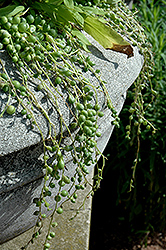 String Of Pearls (Senecio rowleyanus) at Creekside Home & Garden