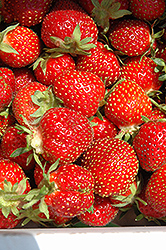 Tristar Strawberry (Fragaria 'Tristar') at Creekside Home & Garden