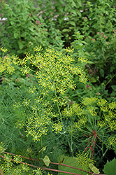 Dill (Anethum graveolens) at Creekside Home & Garden