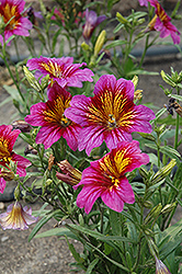 Royale Purple Bicolor Stained Glass Flower (Salpiglossis sinuata 'Royale Purple Bicolor') at Creekside Home & Garden