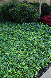 Green Sheen Japanese Spurge (Pachysandra terminalis 'Green Sheen') at Creekside Home & Garden