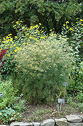 Fennel (Foeniculum vulgare) at Creekside Home & Garden