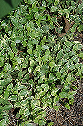 Variegated Periwinkle (Vinca major 'Variegata') at Creekside Home & Garden
