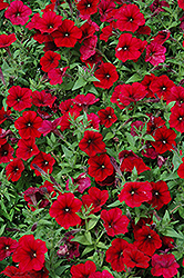 Easy Wave Red Velour Petunia (Petunia 'Easy Wave Red Velour') at Creekside Home & Garden