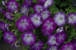 Flash Mob Bluerific Petunia (Petunia 'Flash Mob Bluerific') at Creekside Home & Garden