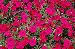 Tidal Wave Cherry Petunia (Petunia 'Tidal Wave Cherry') at Creekside Home & Garden