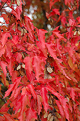 Amur Maple (tree form) (Acer ginnala '(tree form)') at Creekside Home & Garden