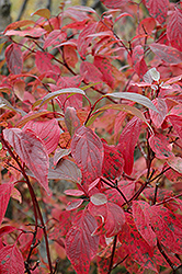 Red Osier Dogwood (Cornus sericea) at Creekside Home & Garden