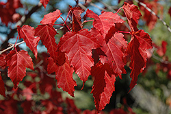 Amur Maple (Acer ginnala) at Creekside Home & Garden