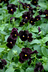 Sorbet Black Delight Pansy (Viola 'Sorbet Black Delight') at Creekside Home & Garden