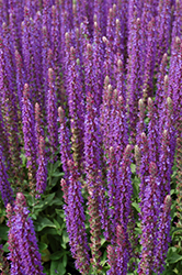 East Friesland Sage (Salvia nemorosa 'East Friesland') at Creekside Home & Garden