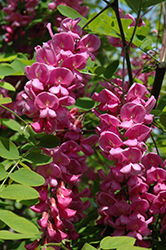 Purple Robe Locust (Robinia pseudoacacia 'Purple Robe') at Creekside Home & Garden