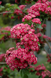 Toba Hawthorn (Crataegus x mordenensis 'Toba') at Creekside Home & Garden