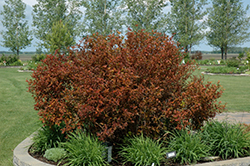 Coppertina® Ninebark (Physocarpus opulifolius 'Mindia') at Creekside Home & Garden