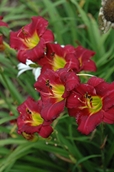 Pardon Me Daylily (Hemerocallis 'Pardon Me') at Creekside Home & Garden