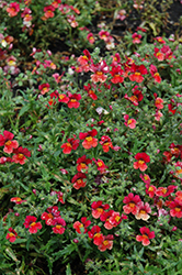 Sunsatia Blood Orange Nemesia (Nemesia 'Sunsatia Blood Orange') at Creekside Home & Garden
