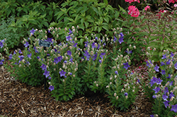 Astra Blue Balloon Flower (Platycodon grandiflorus 'Astra Blue') at Creekside Home & Garden