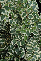 Variegated Creeping Fig (Ficus pumila 'Variegata') at Creekside Home & Garden