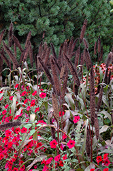 Purple Baron Millet (Pennisetum 'Purple Baron') at Creekside Home & Garden