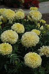 Vanilla Marigold (Tagetes erecta 'Vanilla') at Creekside Home & Garden