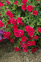 MiniFamous® Double Magenta Calibrachoa (Calibrachoa 'MiniFamous Double Magenta') at Creekside Home & Garden