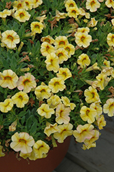 Conga™ Yellow Calibrachoa (Calibrachoa 'Conga Yellow') at Creekside Home & Garden