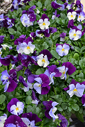 Cool Wave® Violet Wing Pansy (Viola x wittrockiana 'PAS835631') at Creekside Home & Garden