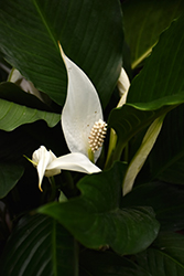 Peace Lily (Spathiphyllum wallisii) at Creekside Home & Garden
