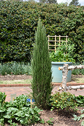 Blue Arrow Juniper (Juniperus scopulorum 'Blue Arrow') at Creekside Home & Garden