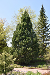 Swiss Stone Pine (Pinus cembra) at Creekside Home & Garden