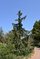 Weeping Nootka Cypress (Chamaecyparis nootkatensis 'Pendula') at Creekside Home & Garden