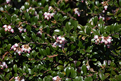 Bearberry (Arctostaphylos uva-ursi) at Creekside Home & Garden