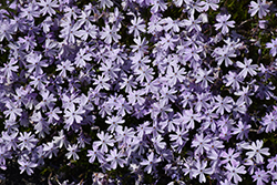 Emerald Blue Moss Phlox (Phlox subulata 'Emerald Blue') at Creekside Home & Garden