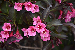 Wine and Roses® Weigela (Weigela florida 'Alexandra') at Creekside Home & Garden