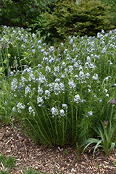 Narrow-Leaf Blue Star (Amsonia hubrichtii) at Creekside Home & Garden