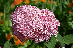 Invincibelle® Spirit Smooth Hydrangea (Hydrangea arborescens 'NCHA1') at Creekside Home & Garden