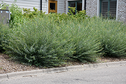 Creeping Arctic Willow (Salix purpurea 'Nana') at Creekside Home & Garden